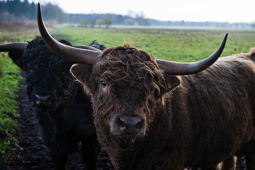 Nederland, Westerbork, 21 nov 2010.Drenthe, natuurgebied met gras en grote grazers...Foto (c)  Michiel Wijnbergh