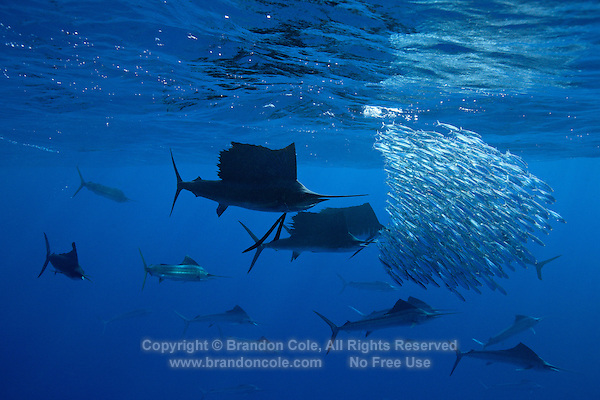 qh0968-D. Atlantic Sailfish (Istiophorus albicans) feeding on sardines. Some consider this the same species as the Indo-Pacific Sailfish (I. platypterus). Mexico, Gulf of Mexico..Photo Copyright © Brandon Cole. All rights reserved worldwide.  www.brandoncole.com..This photo is NOT free. It is NOT in the public domain. This photo is a Copyrighted Work, registered with the US Copyright Office. .Rights to reproduction of photograph granted only upon payment in full of agreed upon licensing fee. Any use of this photo prior to such payment is an infringement of copyright and punishable by fines up to  $150,000 USD...Brandon Cole.MARINE PHOTOGRAPHY.http://www.brandoncole.com.email: brandoncole@msn.com.4917 N. Boeing Rd..Spokane Valley, WA  99206  USA.tel: 509-535-3489