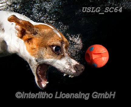 REALISTIC ANIMALS, REALISTISCHE TIERE, ANIMALES REALISTICOS, dogs, paintings+++++SethC_Stella_320B0149work,USLGSC64,#A#, EVERYDAY ,underwater dogs,photos,fotos ,Seth