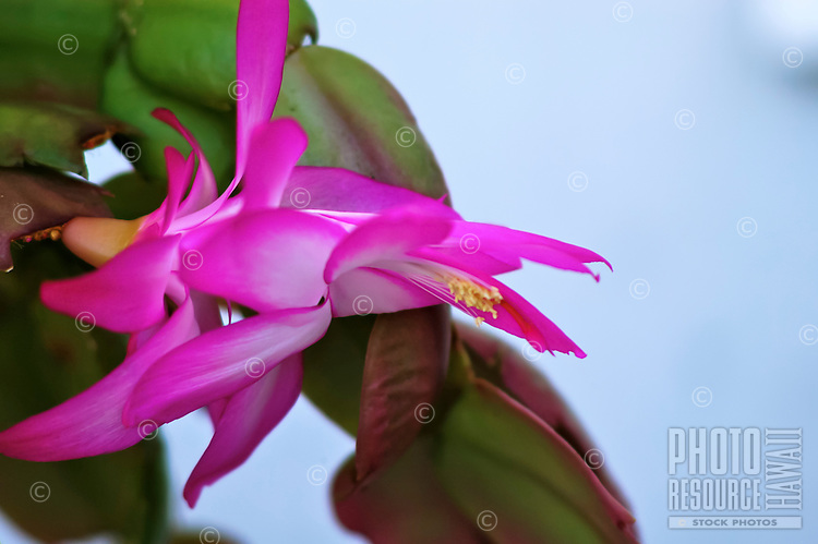 A close-up of a pink Christmas cactus blossom, or Schlumbergera bridgesii, Volcano, Big Island; a succulent that prefers moist, tropical environments at higher elevations.