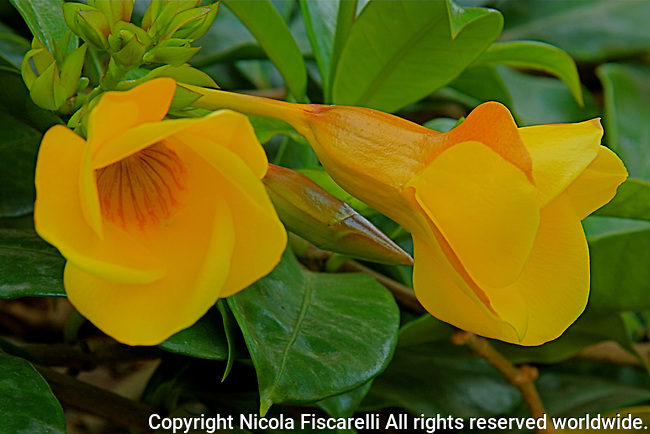 A close-up of the yellow Allamanda  flowers.