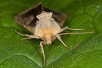 Messingeule, Messing-Eule, Portrait, Diachrysia chrysitis, Plusia chrysitis, Phytometra chrysitis, burnished brass, Eulenfalter, Noctuidae, noctuid moths