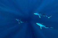 Three Blue Sharks, Prionace glauca, in back view with sunrays shining from the surface, offshore, Cape Point, Cape Town, False Bay, South Africa, Atlantic Ocean, Indian Ocean