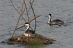 Western grebes and platform nest at Quarry Lakes in Fremont, CA