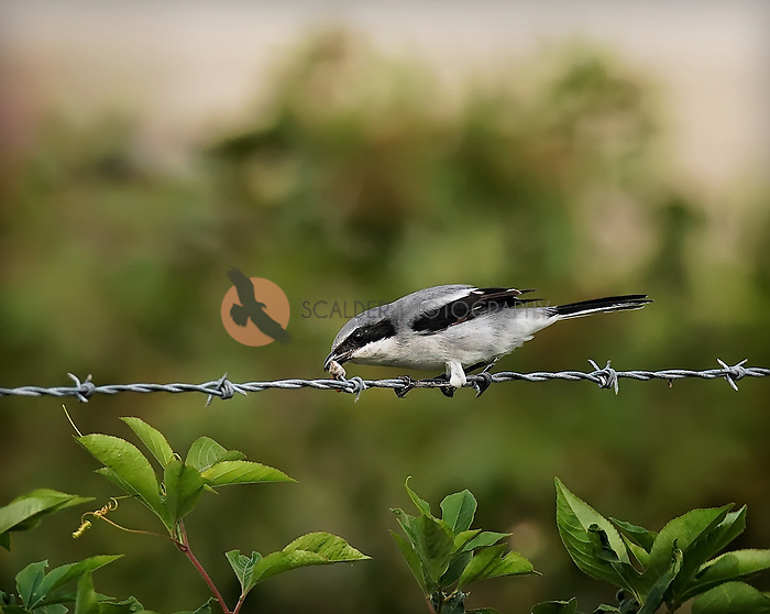 Loggerhead Shrike removing food previously impaled on a barbed wire fence, where he had stored his food cache
