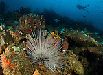 A diver looks on at a long spined sea urchin (Diadema antillarum) on a Saint Lucian reef