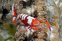 The imperial shrimp, Periclemenes imperator, is often found in pairs on nudibranch and, as in this case, on the six foot long sea cucumber, Synapta maculata.  Mabul Island, Malaysia.<br />