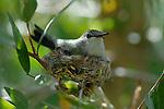 Costa's hummingbird on nest
