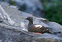 Pigeon Guillemot sits along the rocky shore of Prince William Sound, Alaska