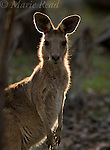 Eastern Grey Kangaroo, (Macropus giganteus), female backlit, Carnarvon Gorge National Park, Queensland, Australia