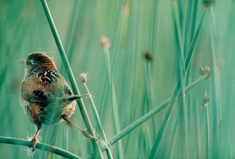 Long-billed Marsh Wren on nest, Skagit River Estuary, Puget Sound, Washington State, Pacific Northwest, Cistothorus palustris;..