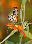 A Monarch Butterfly On A Red Flower With Colorful Background And Surroundings, Danaus plexippus