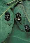 2 Spot Ladybird, Adalia bipunctata, pupae on leaf, metamorphosis, two, chrysalis.United Kingdom....