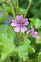 Common mallow (Malva sylvestris), mid June.