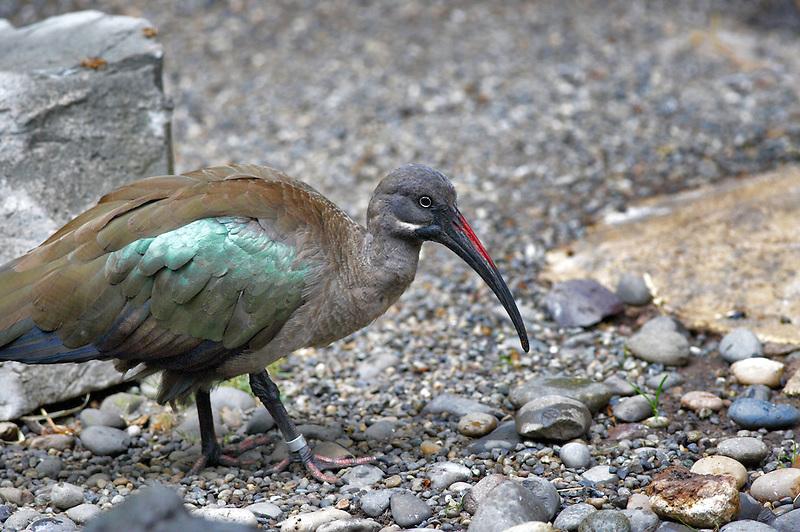 Hadada Ibis. Portland, Oregon Zoo.