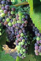 Zinfandel grapes cluster ripening fruit from green to purple on vine in Sonoma California vineyard