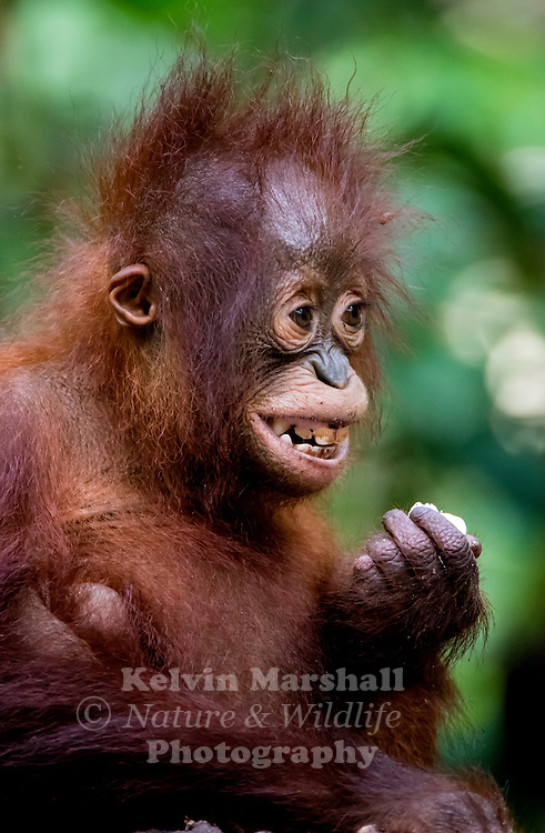Juvenile Orangutan (Pongo pygmaeus) - Tanjung Puting National Park, Central Kalimantan Indonesia.