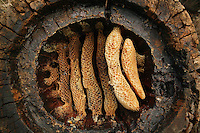 A hollow log hive of the Cevennes reveals the details of circular comb architecture. Honey has already been harvested from this hive, on the left, honey-loaded combs have been cut with a curved blade. The hollow log hive is covered with a stone shingle, a major improvement from the straw hive as it allows to harvest part of the honey without destroying the colony.