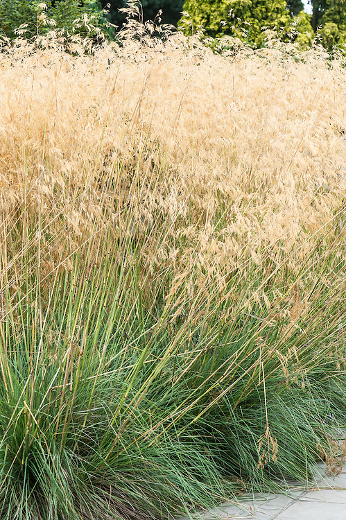 Stipa gigantea (Golden Oats), early September. Tall arching stems of golden, oat-like flowerheads above clumps of slender, grey-green leaves.