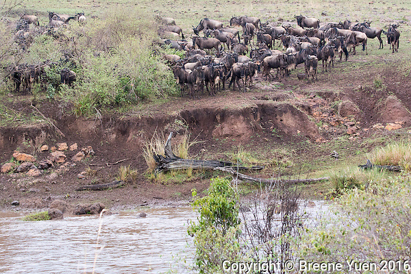 Wildebeast River Crossing Hesitation   Kenya 2015