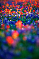 Field of bluebonnets and Indian paintbrush, Texas