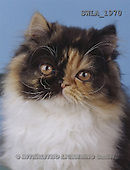 Carl, ANIMALS, photos(SWLA1970,#A#) Katzen, gatos