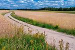Kaszubski pejzaż 2015-07-15 (woj. pomorskie), Łany zbóż w okolicy wsi Wiele na południowym krańcu Wdzydzkiego Parku Krajobrazowego.