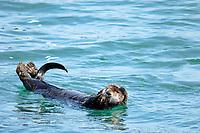 Asian sea otter, grooming in surface of the sea, Enhydra lutris lutris, endangered species, Cape Erimo, Hokkaido, Japan, Pacific Ocean