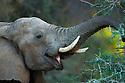 Namibia;  Namib Desert, Skeleton Coast, Huab River, desert elephant (Loxodonta africana) feeding on acacia