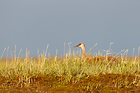 """Lesser"" Sandhill Crane (Grus canadensis canadensis) incubating eggs on its nest. Chukotka, Russia. July."
