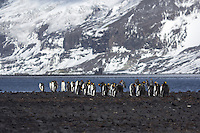 King Penguins on Heard Island, Antarctica