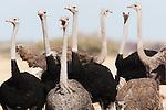 Botswana, Nxai Pan National Park, large group of ostriches (Struthio camelus)