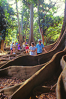 EDITORIAL ONLY. Tourists stand in roots of giant banyan tree. Pacific Tropical Botanical Gardens, Lawai, Kauai