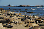 Molting elephant seals at North Point, Ano Nuevo State Park