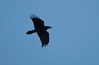 Kolkrabe im Flug, Flugbild, fliegend, Kolk-Rabe, Rabe, Corvus corax, common raven