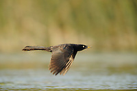 Great-tailed Grackle (Quiscalus mexicanus), male in flight, Fennessey Ranch, Refugio, Corpus Christi, Coastal Bend, Texas Coast, USA