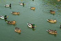 Group of male and female ducks on the water, Provence, France.
