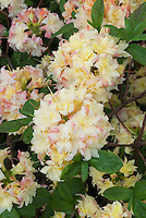 Rhododendron Cannon's Double,  Deciduous Azalea in yellow and pink flowers in spring