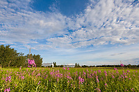 Fireweed in bloom on a summer day at Creamer's field migratory waterfowl refuge, Fairbanks, Alaska