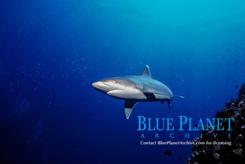 Silvertip shark, Carcharhinus albimarginatus, Fiji, Pacific Ocean