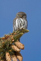 Northern Pygmy-Owl (Glaucidium gnoma), male calling, Yellowstone National Park, Wyoming, USA
