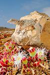 A Tenerife Gecko (Tarentola delalandii) in habitat, Tenerife, Canary Islands, Spain.