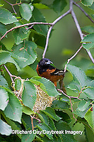 01618-010.18 Orchard Oriole (Icterus spurius) male at nest,  Marion Co. IL