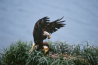 Bald eagle returns to nest with food (baby duck in beak), Aleutian Islands National Wildlife Refuge, Alaska.