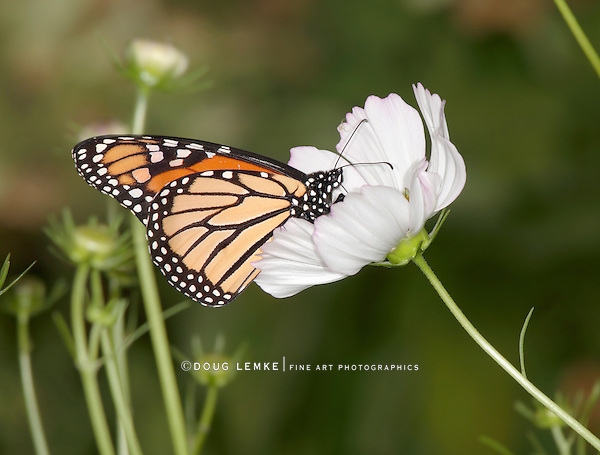 Monarch Butterfly On A White Flower, Danaus plexippus
