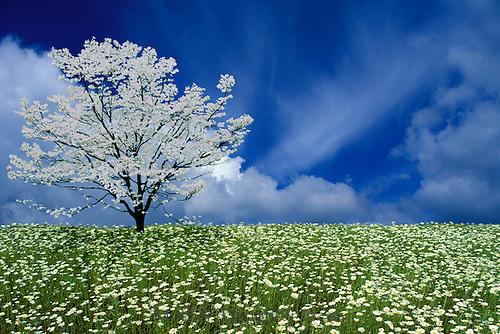 Meadow of wild oxeye dasies, Leucanthemum vulgare, with white dogwood (Cornus florida) in full bloom MIssouri USA