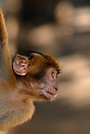 Portrait in profile of baby Barbary Macaque