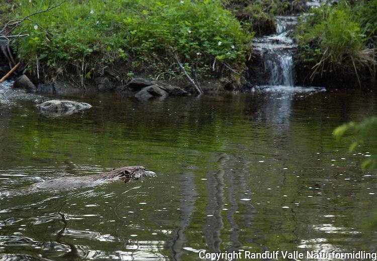 Bever i beverdammen ---- Beaver in dam