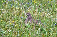 Blue Grouse Hen guarding her chicks.