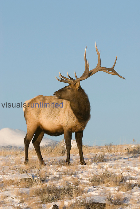 Elk (Cervus elaphus), Yellowstone, Wyoming.